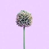 Allium x 1, grün, H58cm