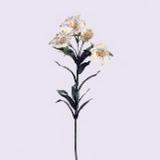Alstroemeria x 5, weiss, H60cm