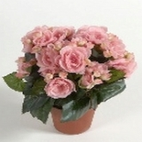Begonie getopft, rosa, H30cm