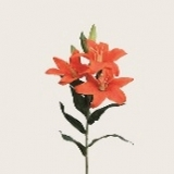 Tiger Lilie x 3, orange, H88cm
